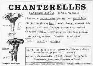 chanterelles_